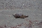 Whiskey Island Beach dead turtleSTPe 051210-1